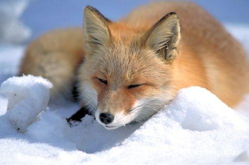 Evcil Hayvan Alımları Fox