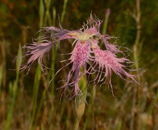 Dianthus broteri P1200229.web2