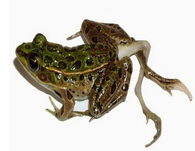 Weird Things Two-Deformed-Frogs