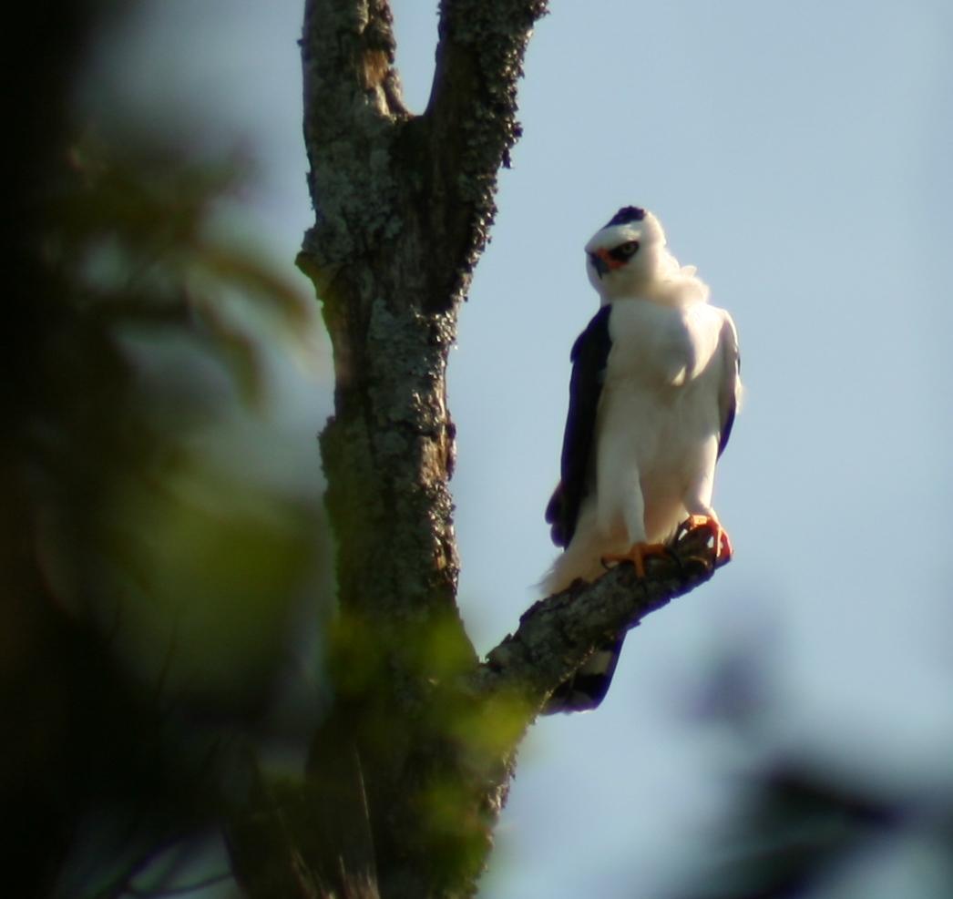 Falconiformes. Família  Acciptridae - Subfamília Buteonidade- Gaviões de penacho. genêro SPIZAETUS Gavi%25C3%25A3o-pato