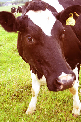 Saludos asturianos Vaca