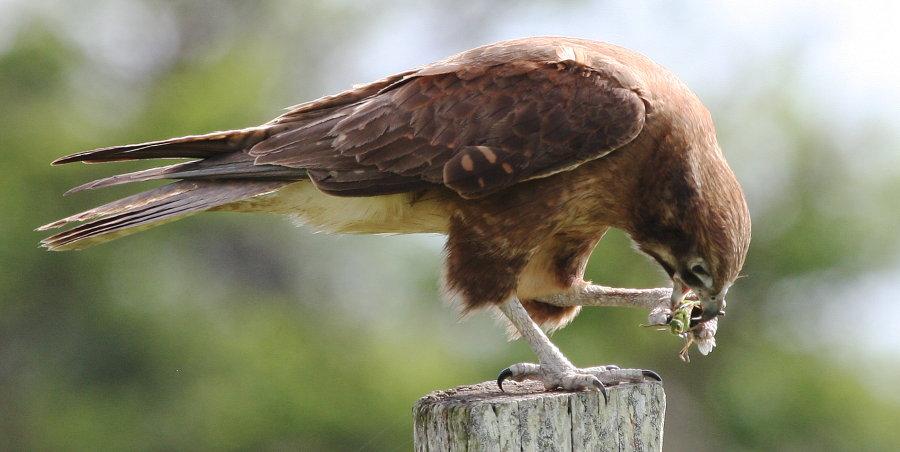 Falconiformes. sub Falconidae - sub fam Falconinae - gênero Falco Brfalcon900IMG_4191