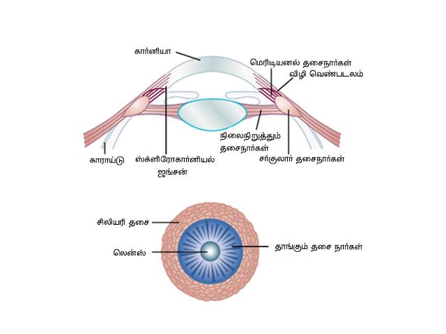கண் - Anatomy  Accomadation