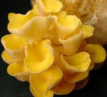 SƯU TẬP NẤM - Page 3 Pleurotus_citrinopileatus