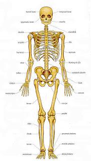 உடல் எலும்புகள் பலமாக இருக்கவேண்டுமா... Bones1