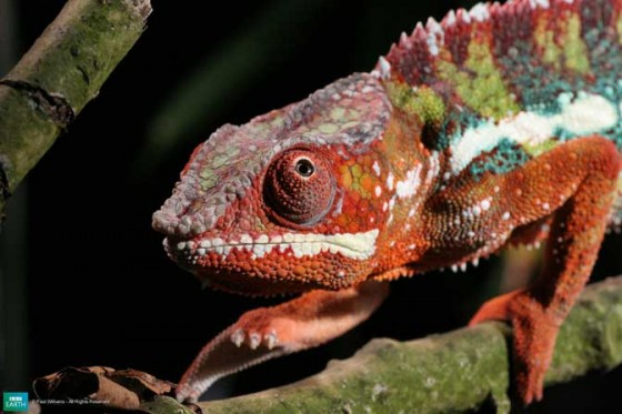 வண்ணமயமான டாப் 10 – உயிர்கள் 1-lifeis-pantherchameleon-560x373