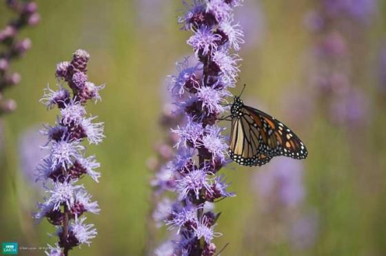 வண்ணமயமான டாப் 10 – உயிர்கள் 10-monarchbutterfly-560x372