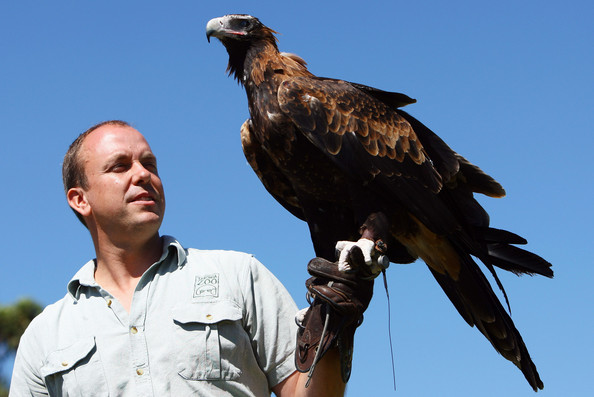 Comparação do tamanho de águias  com relação ao homem. Taronga%2BZoo%2BWedge%2BTail%2BEagle%2BTakes%2BFlight%2BPsX1A3O56gWl