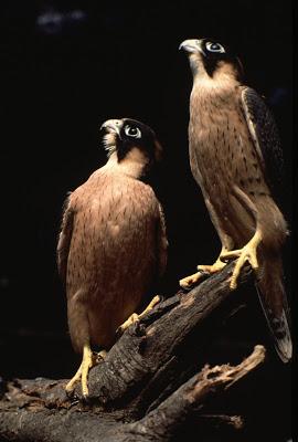 Falconiformes. sub Falconidae - sub fam Falconinae - gênero Falco RHartley1