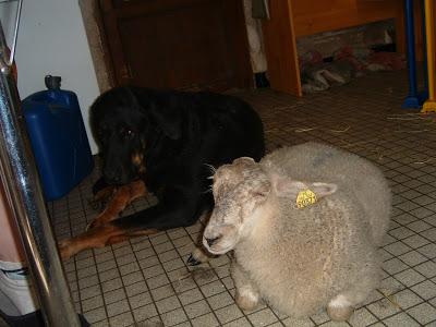 Un mouton pas comme les autres xD - Page 2 DSCF0064