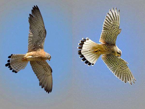 Falconiformes. sub Falconidae - sub fam Falconinae - gênero Falco - Página 2 Common_Lesser-Kestrel1