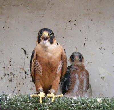 Falconiformes. sub Falconidae - sub fam Falconinae - gênero Falco Taitaeyasadult01