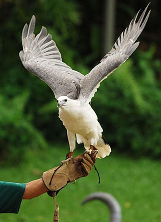 Comparação do tamanho de águias  com relação ao homem. Rare-white-eagles-in-the-jurong-bird-park