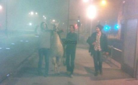 Detenidos 5 jóvenes franceses por robar una llama y llevársela de fiesta Tumblr_mvpr5i6Jc31qeacv5o2_500