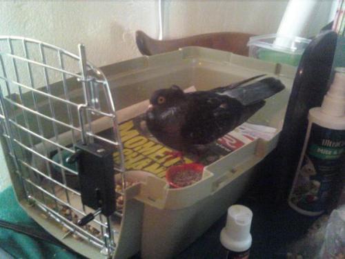 Rehabbing a concussed bird Tumblr_lnolrpbKpU1qzpx2to1_500
