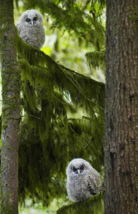 branna-laurelin: owlday: Spotted Owls
