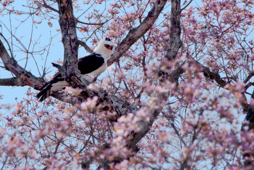 Falconiformes. Família  Acciptridae - Subfamília Buteonidade- Gaviões de penacho. genêro SPIZAETUS Tumblr_m7dqzjXHc11r16gt2o1_500