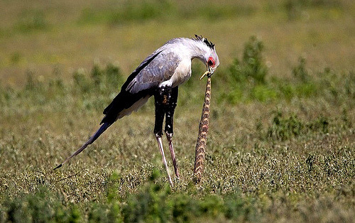 Falconiformes. Fam .Sagittaridae. espécie Sagittarius serpentarius.  Secretário Tumblr_lqlv0pYf4X1qcrsweo1_500