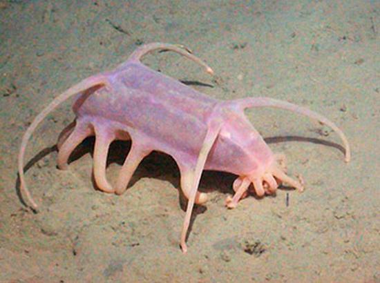 خنزير البحر.. كائن لم تره عيناك من قبل Sea-pig-5