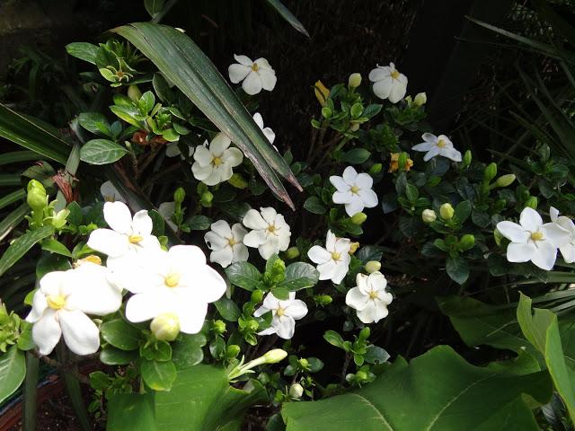 Gardenia rustiques DSC07246