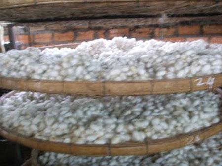دودة القز ومراحل غزل الحرير وتجميعه (صانعة الحرير)3 Silk-worms9