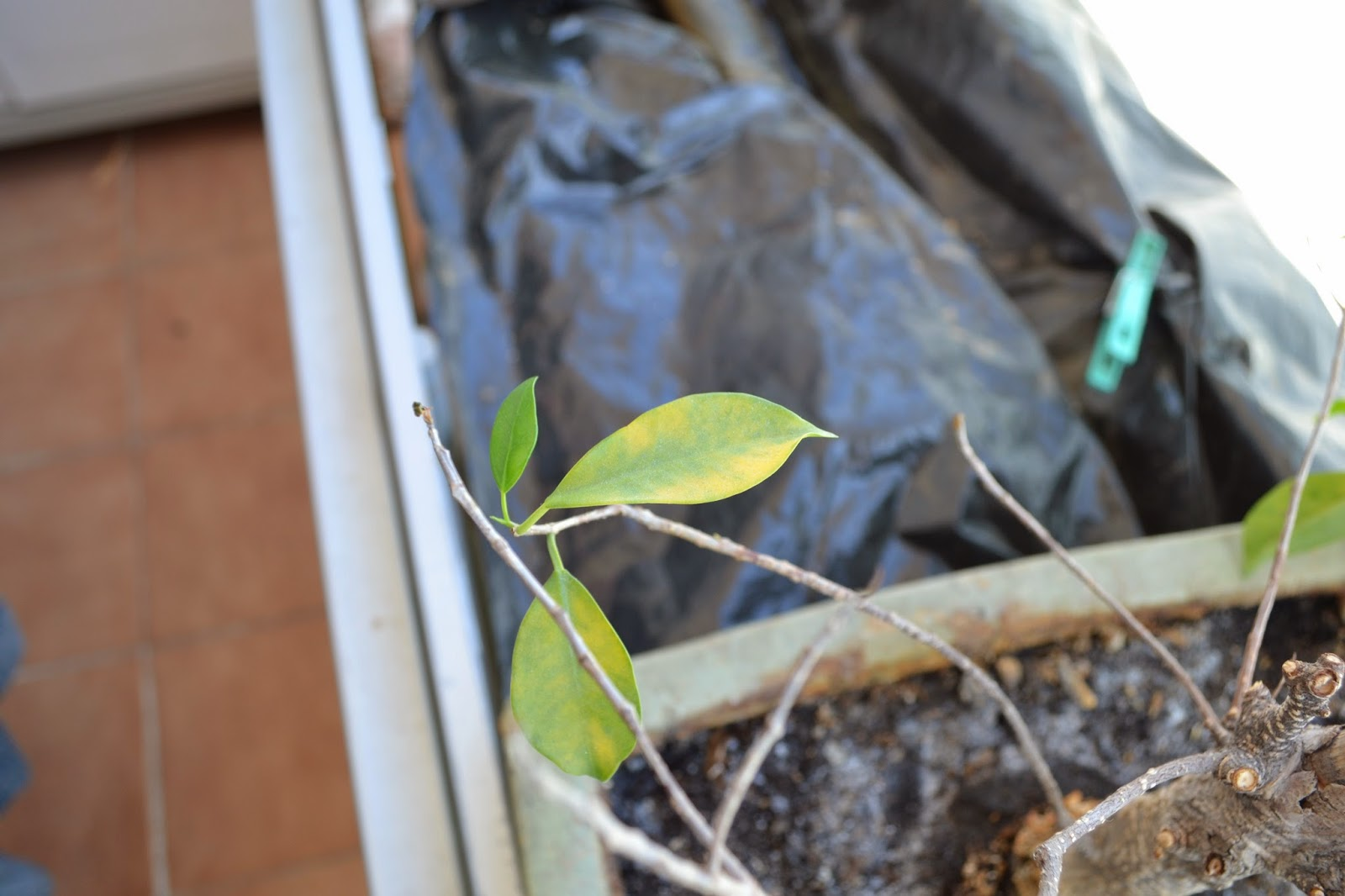 Recuperar urgente un Ficus Retusa DSC_0087