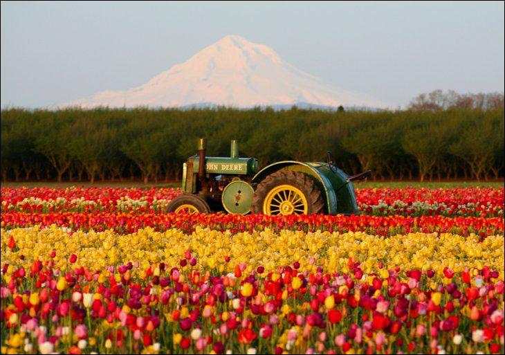Holandija Tulip%2BGarden%2B-%2BNetherland%2Bin%2BMay%2BMonth%2B%252815%2529