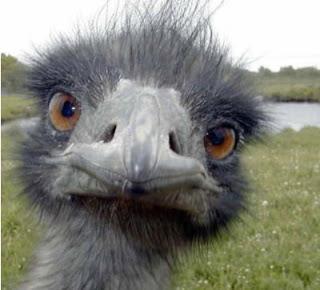 هل تضع النعامة رأسها في التراب؟ Ostrich