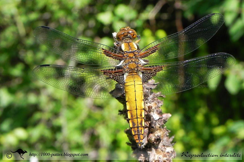un insecte à découvrir , blucat (4 août) trouvé par ajonc LIB-Depressa-P074708_0105