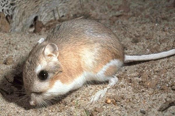 ماهو الحيوان الوحيد الذي لا يشرب الماء أبدا؟ Kangaroo-rat