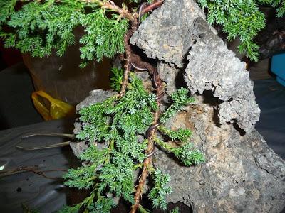 Bonsai sobre roca P1070349