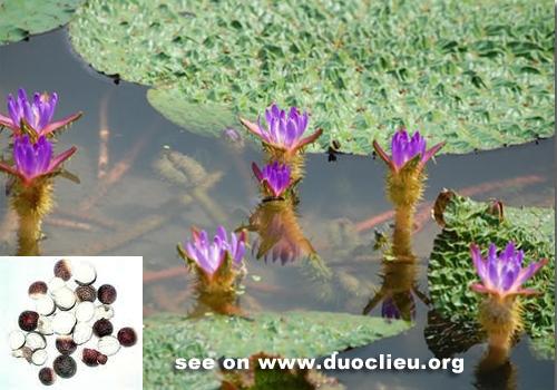 HOA VÀ THƠ - Page 33 Euryale-seed-%252528Qianshi%252529