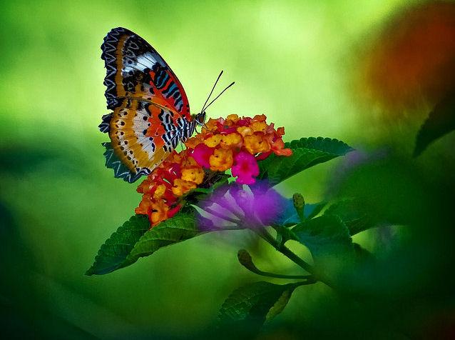 """... """" EL VALS DE LAS MARIPOSAS """"... - Página 2 Mariposa-butterfly"""