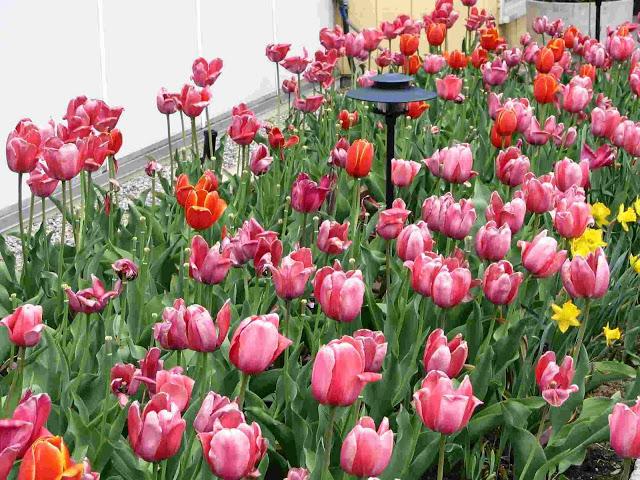 أزهار التيوليب: عالم من الجمال والأناقة Tulipbed