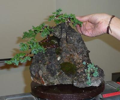 Bonsai sobre roca P1070401