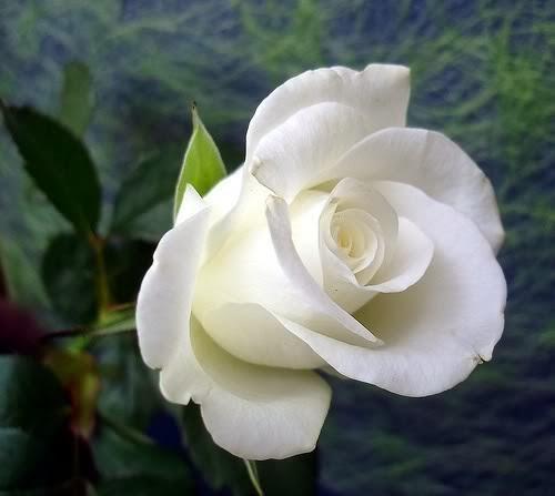 TAN CERCA Rosa-bonita-14