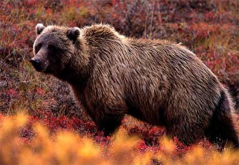 அட அப்படியா...?-படங்களுடன் Grizzly-bear