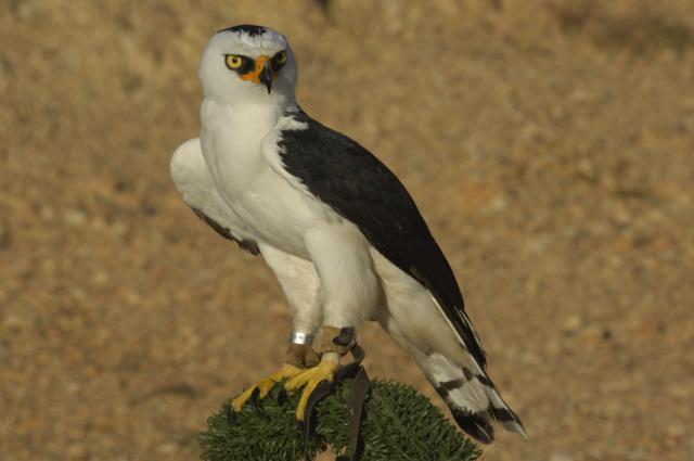 Falconiformes. Família  Acciptridae - Subfamília Buteonidade- Gaviões de penacho. genêro SPIZAETUS Photo48