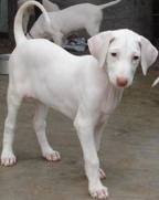 ராஜபாளையம் ஸ்பேசல்..... Dog