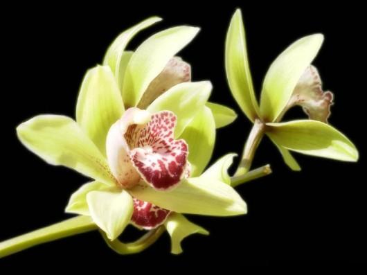 கண் கவர் அரிய மலர்கள் Rare_flowers_orchid_14