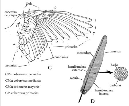 Denominación de las plumas de ave según posición en el ala. Ala