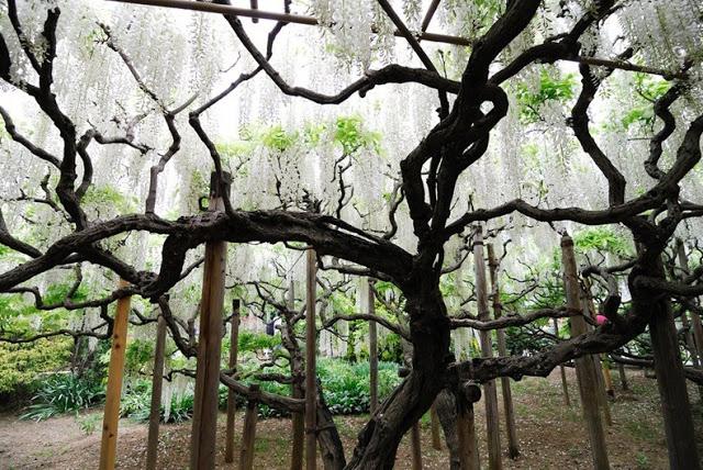 حديقة زهرة الحب في اليابان 5
