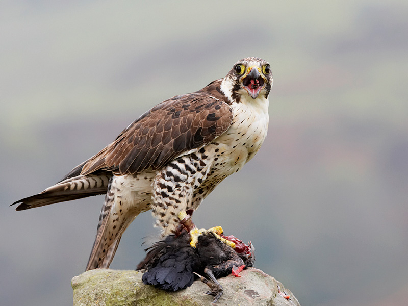 Falconiformes. sub Falconidae - sub fam Falconinae - gênero Falco Pere%2Bsaker