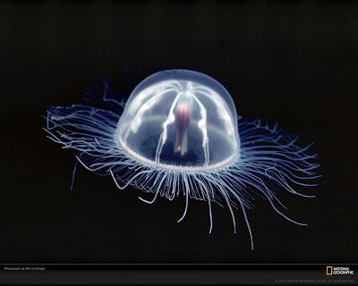 Les animaux nous révèlent. Arctapodema-Curtsinger-National_Geographic