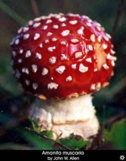 Santa Claus and the Magic Mushrooms Amanita_muscaria_muscaria9