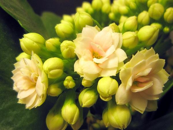 la fleur de Martin du 11 janvier trouvée par Jovany - Page 2 Kalanchoeblancb