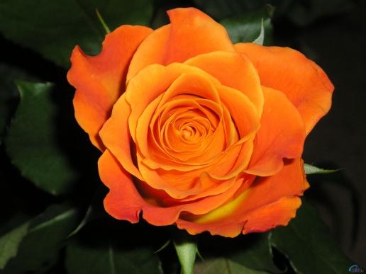 பட்டு வண்ண ரோஜாவாம், பார்த்த கண்ணு மூடாதாம்..! (புகைப்படங்கள்) Flowers_397-preview