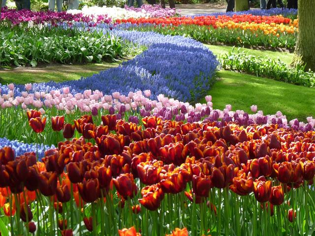 أزهار التيوليب: عالم من الجمال والأناقة P1090163