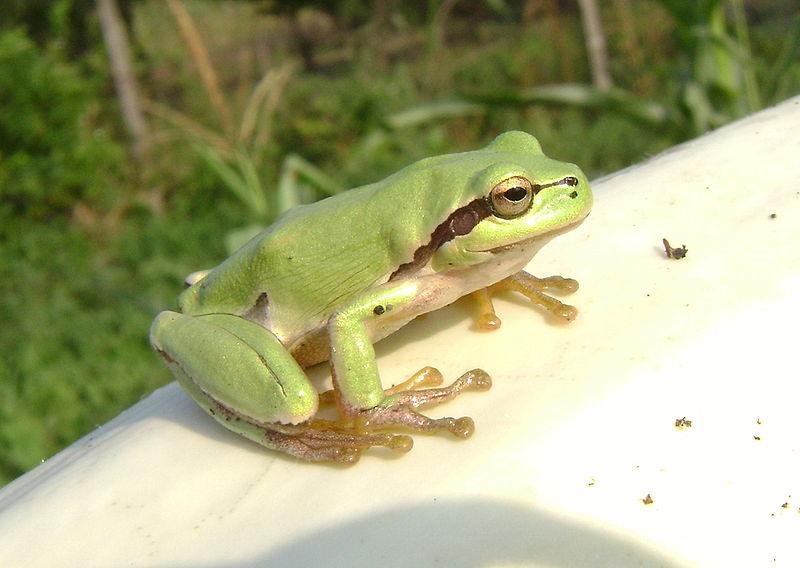 الضفادع والزلازل 800px-Tree_frog_in_Romania