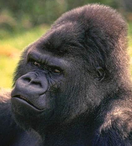 Bienvenidos al nuevo foro de apoyo a Noe #272 / 03.07.15 ~ 09.07.15 - Página 6 Gorila4